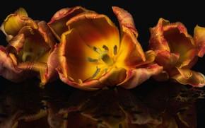 Picture drops, macro, flowers, reflection, lights, the dark background, petals, tulips, orange, Golden