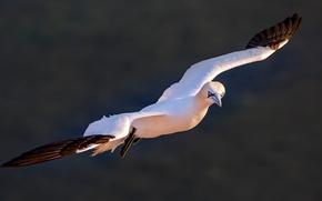 Picture flight, birds, nature, pose, background, bird, dark, wings, flies, sea, the Northern Gannet, Gannet