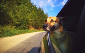 Picture look, dog, car