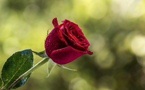 Picture flower, drops, rose, Bud