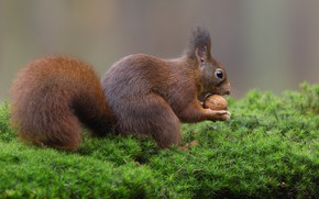 Picture nature, background, moss, walnut, protein, red, lunch, rodent