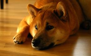 Picture face, lies, Shiba inu