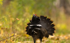 Picture nature, bird, feathers, tail, grouse
