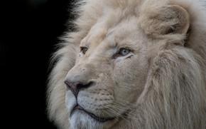 Picture mane, white, Leo, king
