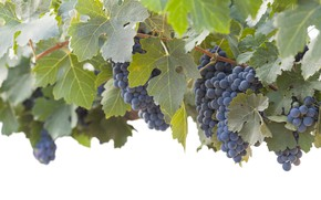 Picture leaves, nature, grapes, bunch, vineyard, shrub, blue grape