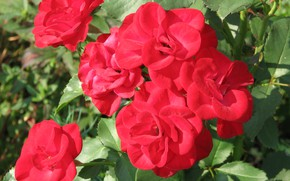 Picture leaves, Bush, red, Roses