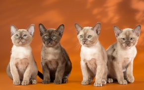 Wallpaper Quartet, the Burmese, kittens, Burma