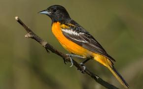 Picture birds, icterus galbula, Baltimore Oriole, Baltimore colored troupial