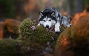 Wallpaper stones, Husky, moss, look, dog