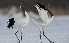 Picture birds, dance, pair, cranes
