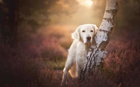 Wallpaper Heather, birch, bokeh, tree, look, dog
