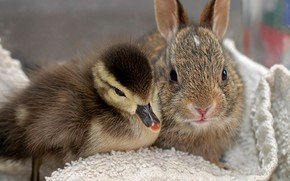 Picture rabbit, friends, duck, chick