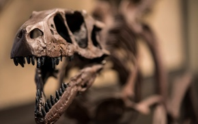 Picture skeleton, raptor, dinosaur, Jurassic