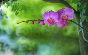 Picture background, petals, Orchid