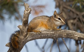 Picture branch, tail, Chipmunk, rodent