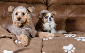 Picture dogs, look, sofa, clothing, poodle, Chihuahua