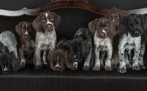Picture dogs, puppies, Drathaar, German Wirehaired pointer