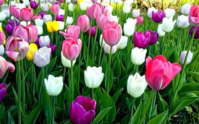 Picture leaves, flowers, rendering, stems, Wallpaper, spring, tulips, flowerbed, picture, bright petals