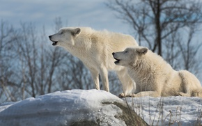 Picture winter, white, the sky, snow, trees, branches, nature, stones, wolf, pair, lies, wolves, howl, two, …