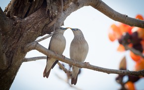 Picture birds, a couple, the Siberian Starling