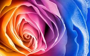 Picture rainbow, petals, flower, rose