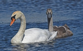 Picture white, water, love, nature, pond, grey, pair, swans, float