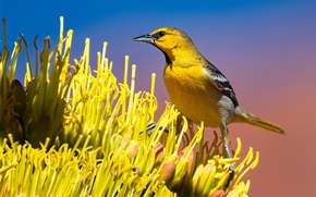 Picture flower, bird, beak, tail, color trupial bullock
