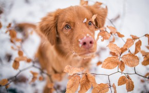 Picture winter, frost, eyes, look, leaves, snow, branches, nature, background, foliage, portrait, dog, blur, nose, red, ...
