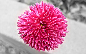 Picture Flower, Garden, Loneliness, Pink, Belarus, Black and white, The variegation