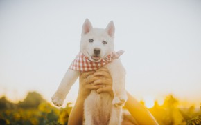 Picture white, dog, hands, puppy