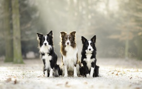 Wallpaper nature, background, dogs
