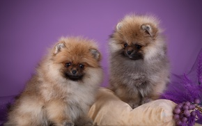 Picture puppies, pillow, fluffy, Spitz