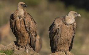 Picture birds, predators, vultures