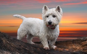 Picture sunset, dog, The West highland white Terrier