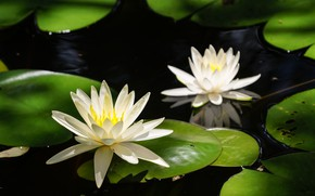 Picture leaves, flowers, flowering, pond, water lilies