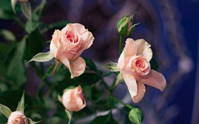 Picture flowers, roses, bouquet, flower, roses