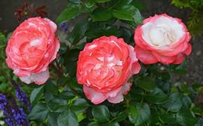 Picture flowers, Bush, roses, flowering