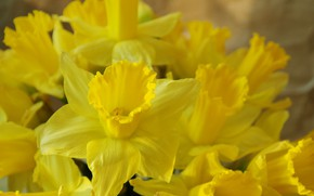 Picture Flowers, Spring, Bouquet, Daffodils