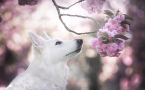 Picture face, cherry, glare, dog, branch, spring, Sakura, flowering, The white Swiss shepherd dog
