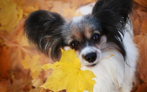 Picture autumn, look, sheet, dog, ears, face, Papillon, The continental toy Spaniel