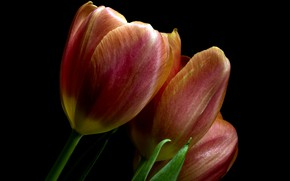 Picture flowers, background, tulips