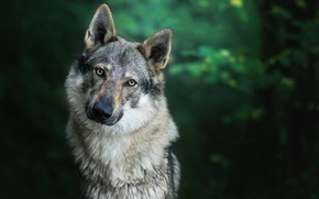 Wallpaper wolf, background, nature