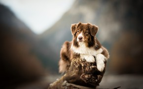 Wallpaper dog, bokeh, snag, Aussie, background, Australian shepherd