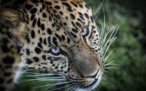Wallpaper look, face, Leopard, wild cat