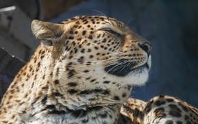 Picture face, portrait, leopard, wild cat, handsome