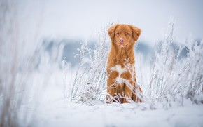 Picture winter, frost, field, grass, snow, nature, dog, red, puppy, sitting, light background, Retriever, twigs, blade, …