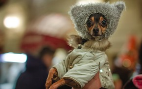 Picture style, jacket, face, fashion, cap, doggie, Chihuahua, dog