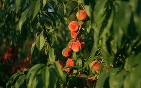 Picture the sun, light, tree, fruit, peaches