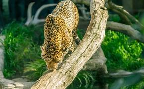Picture predator, Jaguar, wild cat, zoo