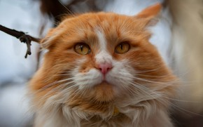 Picture cat, eyes, cat, look, face, close-up, branches, nature, portrait, yellow, red, ear, blurred background, cool